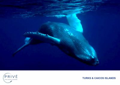 Scuba Diving - Humpback Whale - Whale Season | Photo by Garin J. Bescoby