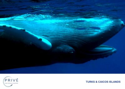 Scuba Diving - Humpback Whale Calf - Living the Dream | Photo by Garin J. Bescoby