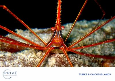 Scuba Diving - Yellow Line Arrow Crab | Photo by Garin J. Bescoby