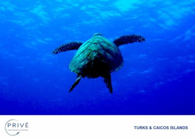 Scuba Diving - Hawksbill Turtle – Freedom | Photo by Garin J. Bescoby