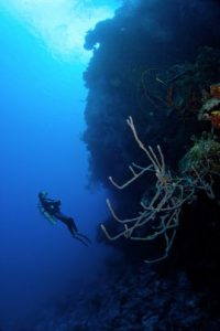 Diver ascending a coral reef wall