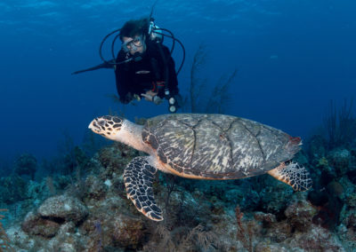 Green Turtle gracefully swimming over the reef as diver peers inquisitively
