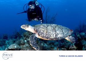 Female scuba diver observing Hawksbill Turtle in the warm waters of the Turks and Caicos Islands