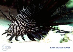 Close up photo of lion fish predating the reefs of the caribbean