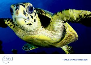 Close up photo of Hawksbill Turtle swimming above the reef in the Turks and Caicos Islands