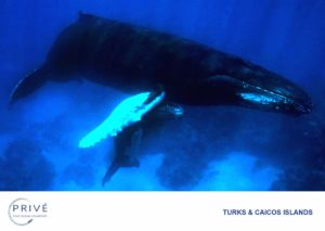 Mother Humpback whale sheltering her calf in the shallows of the Turks and Caicos Islands