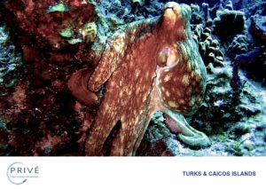 Reef octopus hunting the reefs of the Turks and Caicos Islands