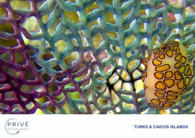 Scuba Diving - Flamingo Tongue - Common Sea Fan | Photo by Garin J. Bescoby