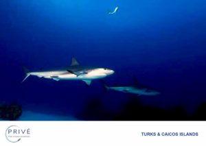 Caribbean Reef Sharks in the relative shallows of the Turks and Caicos Islands