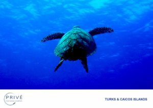 Hawksbill turtle ascending from the depths of the ocean toward the surface for a breath of fresh air