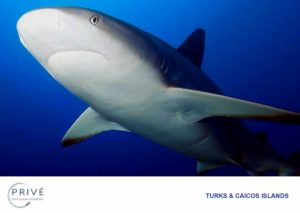 Close up photo of Caribbean Reef Shark in the Turks and Caicos Islands